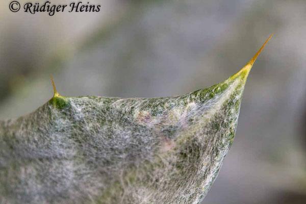 Onopordum acanthium (Gewöhnliche Eselsdistel) dorniges Blatt, 17.7.2019