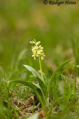 Orchis pallens (Blasses Knabenkraut), 1.5.2015