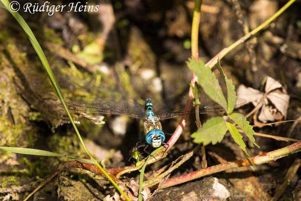 Aeshna affinis (Südliche Mosaikjungfer) Eiablage, 30.7.2021 - Makroobjektiv 180mm f/3.5