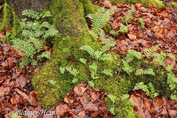Polypodium vulgare (Gewöhnlicher Tüpfelfarn), 26.12.2011