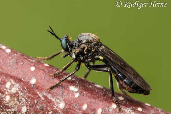 Dioctria atricapilla (Schwarze Habichtsfliege) Weibchen, 19.6.2020