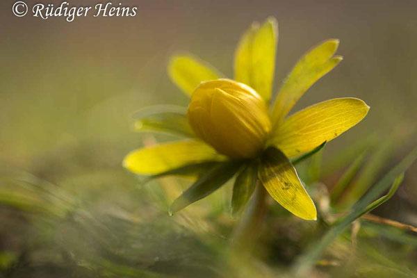 Winterling (Eranthis hyemalis), 20.2.2021