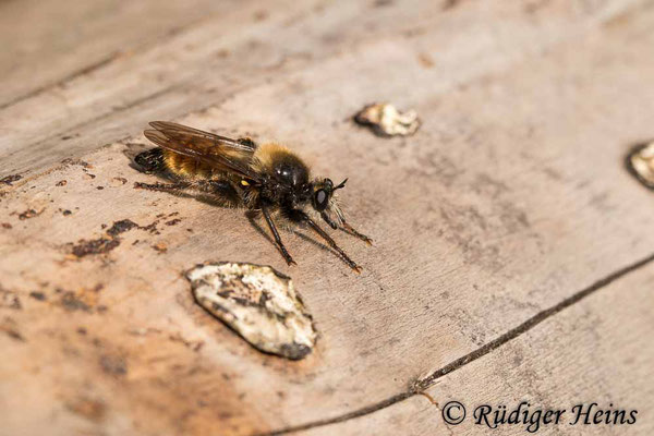 Laphria flava (Gelbe Mordfliege) Männchen, 29.6.2020