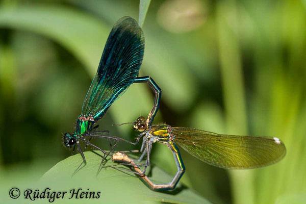 Calopteryx splendens (Gebänderte Prachtlibelle) Paarung, 23.5.2009