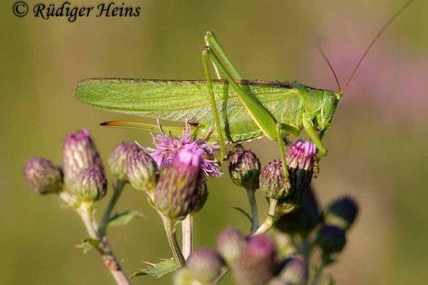 Tettigonia viridissima (Grünes Heupferd) Weibchen, 8.7.2007