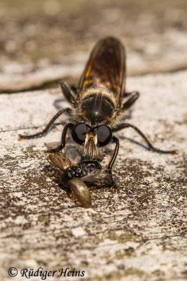 Choerades ignea (Zinnober-Mordfliege) Weibchen, 12.9.2020