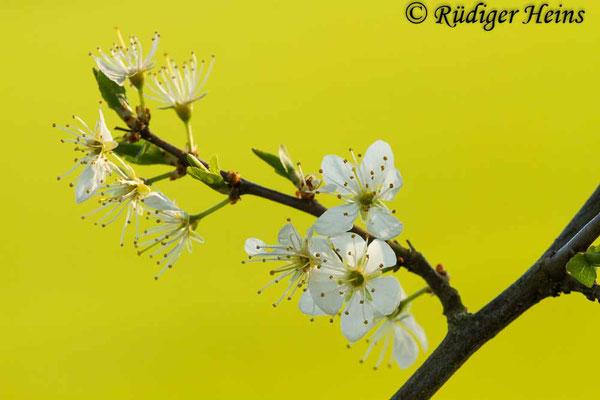 Prunus spinosa (Schlehe oder Schwarzdorn), 23.4.2020