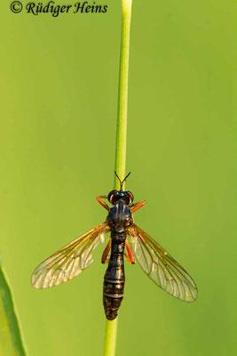 Dioctria cothurnata (Beulen-Habichtsfliege) Weibchen, 10.8.2020