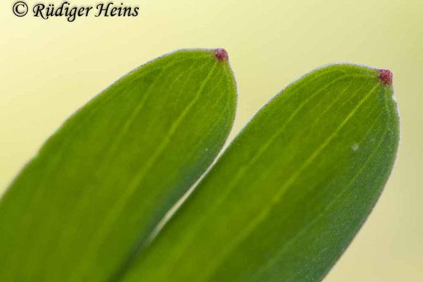 Corydalis intermedia (Mittlerer Lerchensporn), 9.4.2020