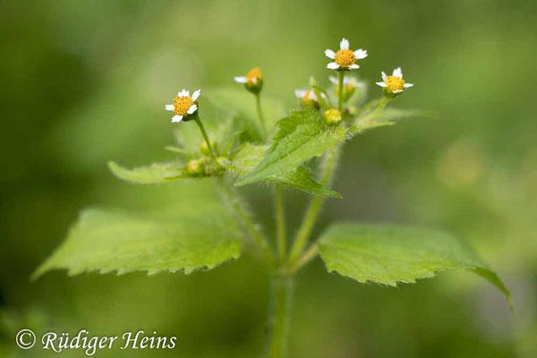 Galinsoga parviflora (Kleinblütiges Franzosenkraut), 7.10.2020