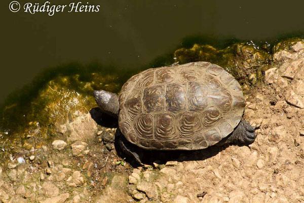 Mauremys leprosa (Spanische Wasserschildkröte), 24.9.2016