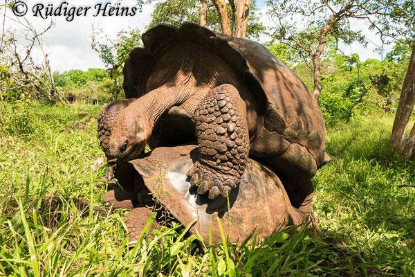 Chelonoidis porteri (Galapagos-Riesenschildkröte), Santa Cruz, 15.02.2020