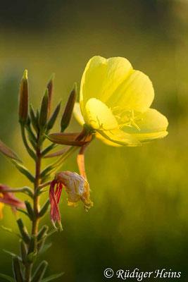 Oenothera grandiflora (Großblütige Nachtkerze), 6.8.2020