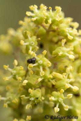 Sambucus racemosa (Roter Holunder), 10.5.2021