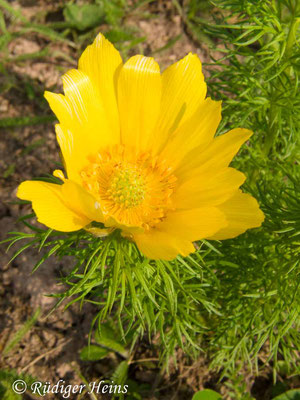 Adonis vernalis (Frühlings-Adonisröschen), 3.5.2013