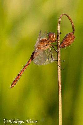 Sympetrum vulgatum (Gemeine Heidelibelle) Männchen, 20.8.2011