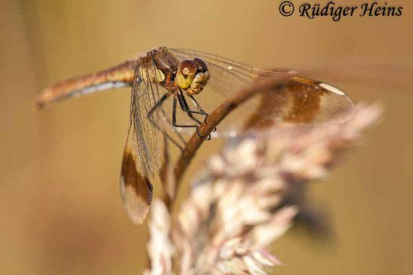 Sympetrum pedemontanum (Gebänderte Heidelibelle) Weibchen, 19.8.2009