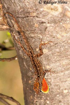 Anolis carolinensis (Rotkehlanolis) Männchen, 24.3.2013