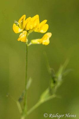 Lathyrus pratensis (Wiesen-Platterbse), 7.8.2020