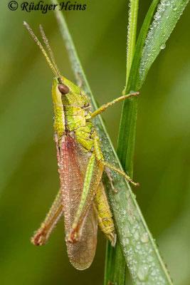 Chrysochraon dispar (Große Goldschrecke) Männchen, 3.7.2009