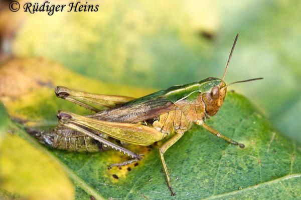 Omocestus viridulus (Bunter Grashüpfer) Weibchen, 29.10.2017