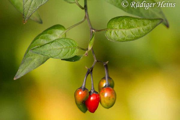 Solanum dulcamara (Bittersüßer Nachtschatten), 11.10.2018