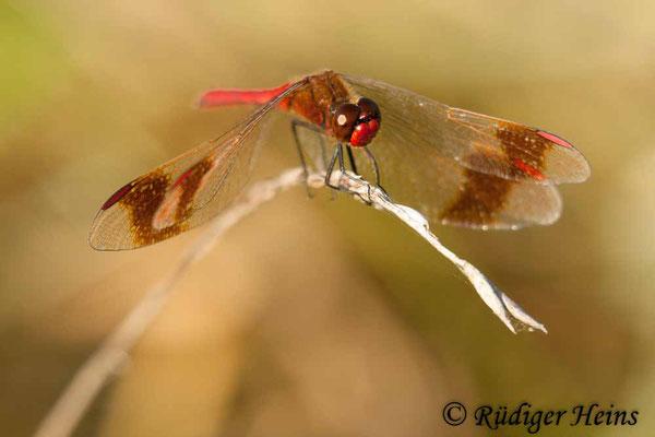 Sympetrum pedemontanum (Gebänderte Heidelibelle) Männchen, 8.9.2009