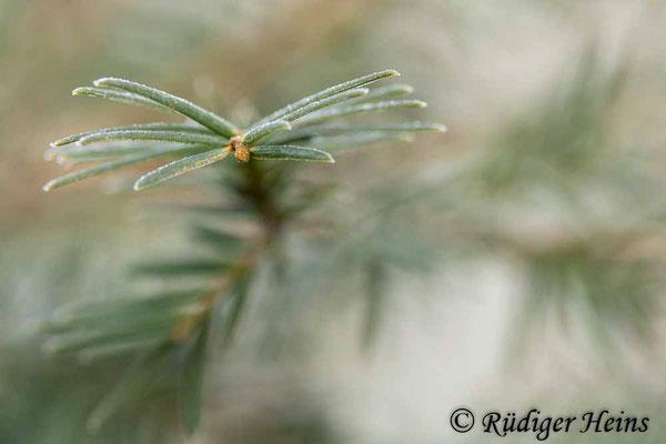 Europäische Eibe (Taxus baccata), 18.3.2021 - Makroobjektiv 100mm f/2,8