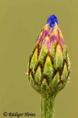 Centaurea cyanus (Kornblume), 11.6.2019