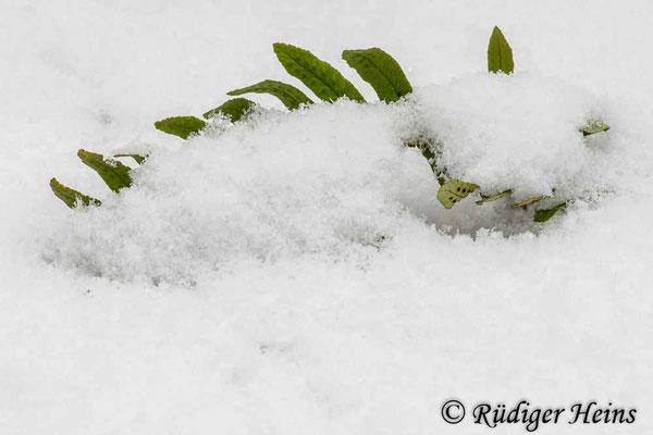 Polypodium vulgare (Gewöhnlicher Tüpfelfarn), 22.12.2012