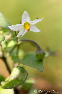 Solanum nigrum (Schwarzer Nachtschatten), 1.10.2018