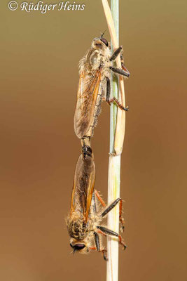 Echthistus rufinervis (Berserkerfliege), 28.6.2009