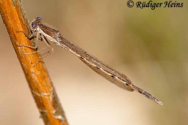 Sympecma fusca (Gemeine Winterlibelle) Männchen, 19.4.2009