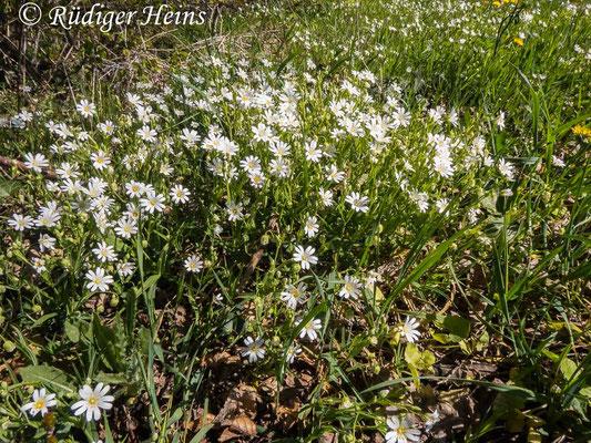 Stellaria holostea (Große Sternmiere), 21.4.2020