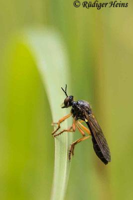 Dioctria cothurnata (Beulen-Habichtsfliege) Weibchen, 4.7.2020