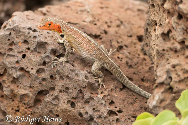 Microlophus indefatigabilis (Lavaechse), Santa Cruz, 18.02.2020