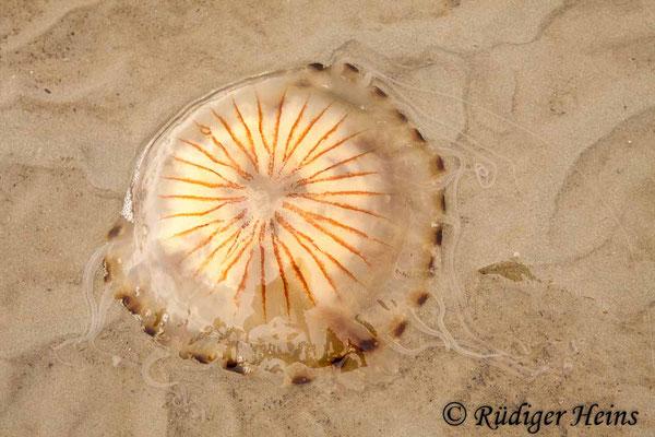 Chrysaora hysoscella (Kompassqualle), 24.8.2012