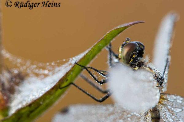 Sympetrum danae (Schwarze Heidelibelle) Weibchen, 6.9.2021
