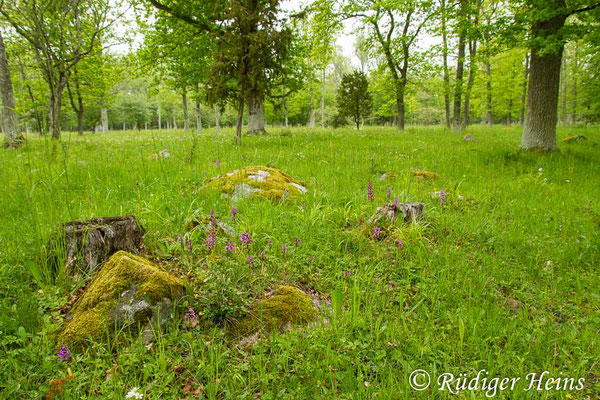 Orchis mascula (Männliches Knabenkraut) Habitat, 4.6.2014