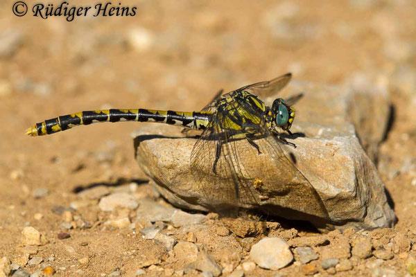 Onychogomphus uncatus (Große Zangenlibelle) Weibchen, 25.6.2017