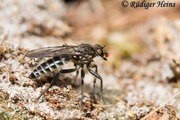 Lasiopogon cinctus (Gemeiner Grauwicht) Weibchen, 25.4.2020