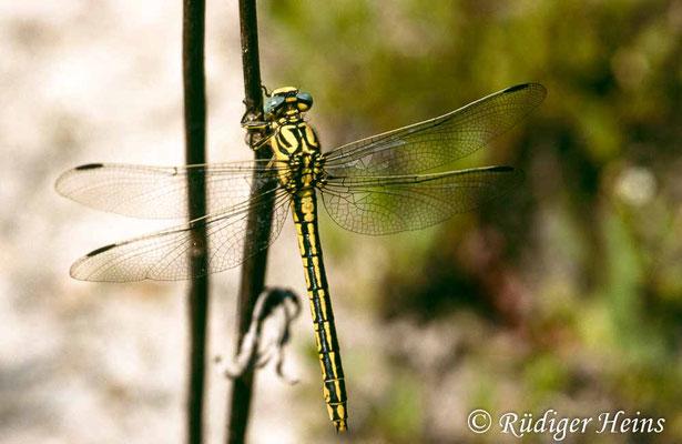 Gomphus simillimus (Gelbe Keiljungfer) Weibchen, 15.6.1991 (Scan vom Dia)