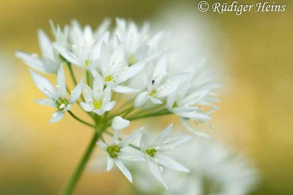 Allium ursinum (Bärlauch), 12.5.2016