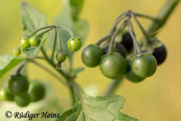 Solanum nigrum (Schwarzer Nachtschatten), 8.10.2018