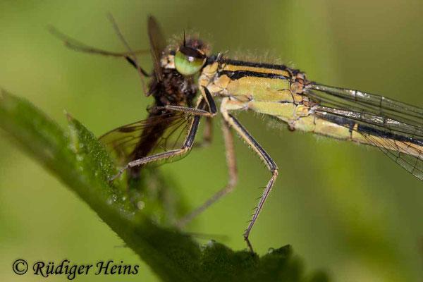 Ischnura elegans (Große Pechlibelle) Weibchen, 17.6.2007