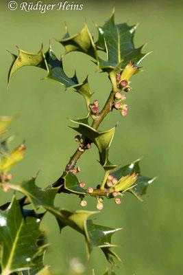 Ilex aquifolium (Europäische Stechpalme), 23.5.2021