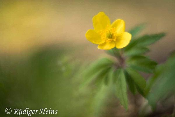 Anemone ranunculoides (Gelbes Windröschen), 8.4.2020
