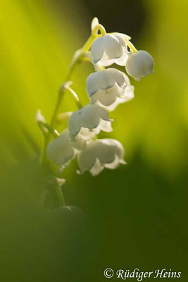 Convallaria majalis (Maiglöckchen) Blüten, 12.5.2020