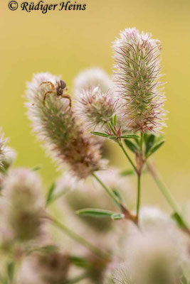 Trifolium arvense (Hasen-Klee), 12.7.2021