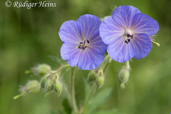 Geranium pratense (Wiesen-Storchschnabel), 9.6.2016